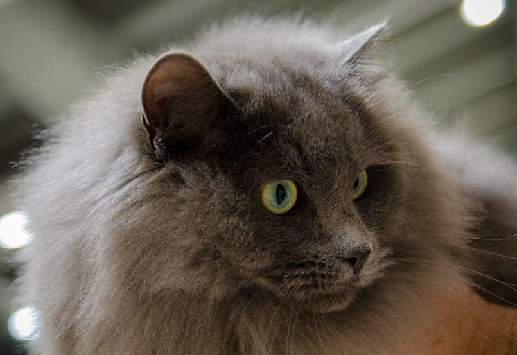 MW19 Lino, dolgodlaka domača mačka