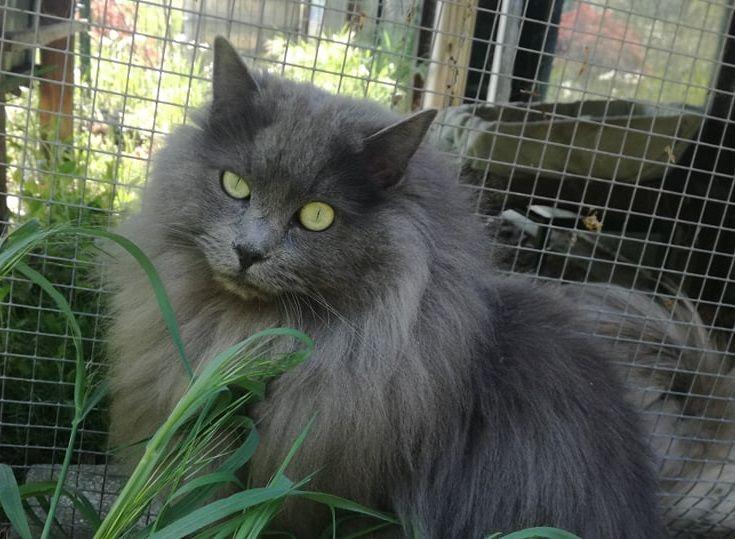 Dolgodlake domače mačke, Samci nevtri: NW MW19 Lino, DSM